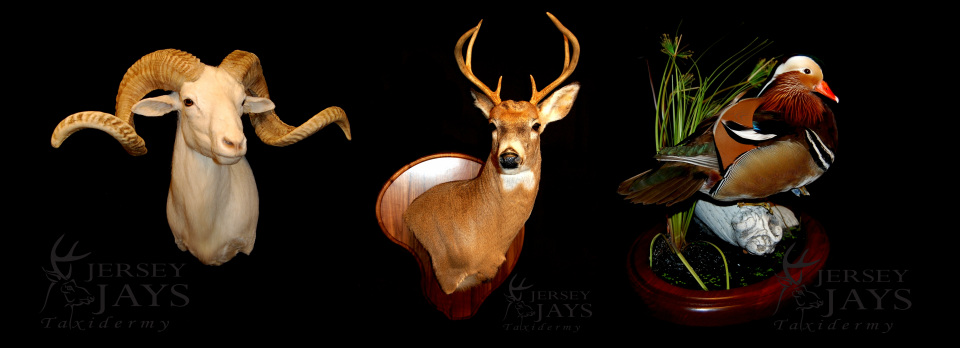 Price List - Jersey Jays Taxidermy 551-206-2623 Clifton
